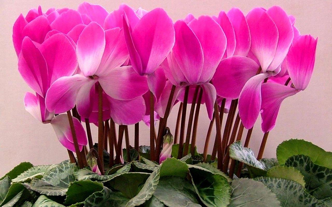Цикламен цветок лечебные свойства